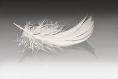 γκρίζο λευκό φτερών Στοκ Φωτογραφία