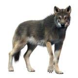 Γκρίζο μέτωπο λύκων Ελεύθερη απεικόνιση δικαιώματος