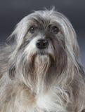 Γκρίζο μικτό σκυλί Στοκ Εικόνα