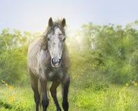 Γκρίζο νέο άλογο στον ήλιο, πορτρέτο στη φύση Στοκ Εικόνες
