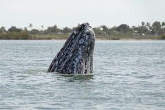 Γκρίζο να ανεβεί μύτης μητέρων φαλαινών Στοκ φωτογραφία με δικαίωμα ελεύθερης χρήσης