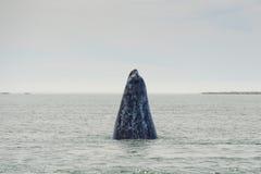 Γκρίζο να ανεβεί μύτης μητέρων φαλαινών Στοκ Φωτογραφίες