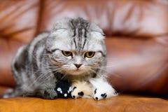 Γκρίζο παιχνίδι γατών με τα παιχνίδια γατών Στοκ Φωτογραφία