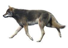 Γκρίζο περπάτημα λύκων Απεικόνιση αποθεμάτων