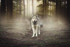 Γκρίζο πορτρέτο λύκων - μαγική δασική αυγή αιχμάλωτων ζώων Στοκ Φωτογραφία