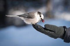 Γκρίζο πουλί του Jay που τρώει τα τα βακκίνια από το χέρι Στοκ φωτογραφία με δικαίωμα ελεύθερης χρήσης