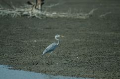 Γκρίζο πουλί Ardea ερωδιών φαιάς ουσίας Στοκ Εικόνες