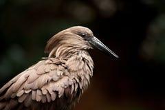 Γκρίζο πουλί με το μαύρο ράμφος στοκ εικόνες