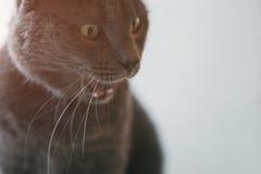 Γκρίζο πρόσωπο διασκέδασης γατών τρελλό Στοκ Φωτογραφία