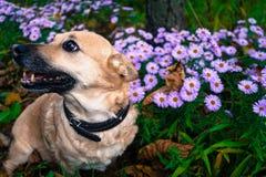 Γκρίζο σκυλί σε έναν περίπατο στο πάρκο φθινοπώρου μεταξύ των λουλουδιών Στοκ Φωτογραφίες