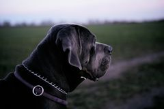 Γκρίζο σκυλί Corso καλάμων που κοιτάζει στο δικαίωμα Στοκ φωτογραφία με δικαίωμα ελεύθερης χρήσης