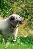 Γκρίζο σκυλί ποιμένων στο πράσινο υπόβαθρο χλόης Στοκ φωτογραφίες με δικαίωμα ελεύθερης χρήσης