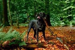 Γκρίζο σκυλί Corso καλάμων στο δάσος στη Γερμανία Στοκ εικόνα με δικαίωμα ελεύθερης χρήσης