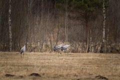 Γκρίζο σμήνος γερανών Στοκ φωτογραφία με δικαίωμα ελεύθερης χρήσης