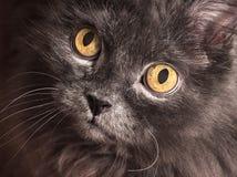 Γκρίζο στενό επάνω πορτρέτο γατών Σιβηρική γάτα Στοκ εικόνα με δικαίωμα ελεύθερης χρήσης