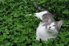 γκρίζο στηργμένος λευκό γατακιών Στοκ εικόνα με δικαίωμα ελεύθερης χρήσης