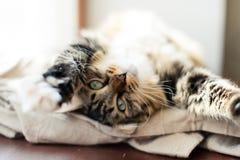 Γκρίζο τέντωμα γατών Στοκ Φωτογραφία