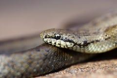 γκρίζο φίδι χλόης Στοκ Εικόνα