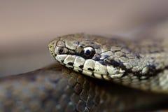 γκρίζο φίδι χλόης Στοκ εικόνες με δικαίωμα ελεύθερης χρήσης