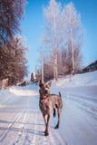 Γκρίζο χειμερινό ταϊλανδικό ridgeback στο άγριο δάσος στο δρόμο Στοκ Φωτογραφίες