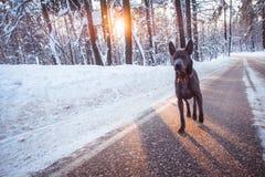 Γκρίζο χειμερινό ταϊλανδικό ridgeback στο άγριο δάσος στο δρόμο Στοκ Εικόνα