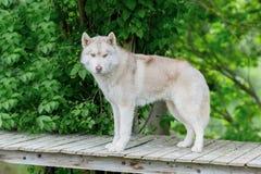 Γκρίζο χρώμα λύκων Ένα ενήλικο αρσενικό στέκεται σε μια ξύλινη πλατφόρμα γήρανσης Στοκ φωτογραφία με δικαίωμα ελεύθερης χρήσης