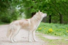 Γκρίζο χρώμα λύκων Ενήλικο αρσενικό Η άποψη από την πλευρά Στοκ Εικόνες