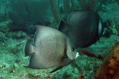Γκρίζο angelfish δύο που κολυμπά στον ωκεανό Στοκ Φωτογραφία