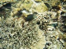 Γκρίζο Angelfish: Μεγάλος σκόπελος αστρολάβων Στοκ Εικόνες