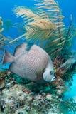 Γκρίζο Angelfish Στοκ Φωτογραφία