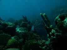 Γκρίζο Angelfish Στοκ Εικόνες
