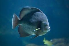 Γκρίζο angelfish (arcuatus Pomacanthus) Στοκ φωτογραφία με δικαίωμα ελεύθερης χρήσης