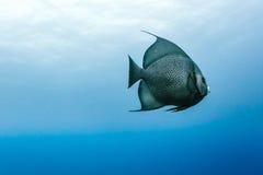 Γκρίζο arcautus Angelfish Pomacanthus που κολυμπά στο μπλε νερό Στοκ φωτογραφία με δικαίωμα ελεύθερης χρήσης