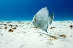 Γκρίζο arcautus Angelfish Pomacanthus στην άσπρη άμμο Στοκ Εικόνα