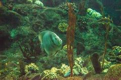Γκρίζο arcuatus Pomacanthus angelfish Στοκ εικόνες με δικαίωμα ελεύθερης χρήσης