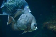 Γκρίζο arcuatus Pomacanthus angelfish Στοκ Εικόνες