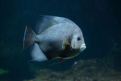 Γκρίζο arcuatus Pomacanthus angelfish Στοκ Εικόνα