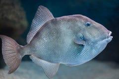Γκρίζο capriscus Balistes triggerfish Στοκ φωτογραφία με δικαίωμα ελεύθερης χρήσης