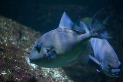 Γκρίζο capriscus Balistes triggerfish Στοκ φωτογραφίες με δικαίωμα ελεύθερης χρήσης