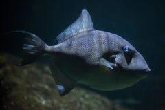Γκρίζο capriscus Balistes triggerfish Στοκ εικόνα με δικαίωμα ελεύθερης χρήσης