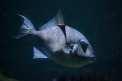 Γκρίζο capriscus Balistes triggerfish Στοκ εικόνες με δικαίωμα ελεύθερης χρήσης