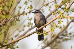 Γκρίζο Catbird σε ένα δέντρο μουριών Στοκ Φωτογραφία