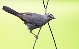 Γκρίζο catbird Στοκ Φωτογραφίες