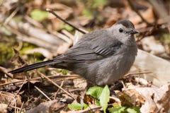 Γκρίζο catbird Στοκ εικόνα με δικαίωμα ελεύθερης χρήσης