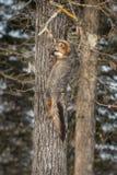 Γκρίζο cinereoargenteus Urocyon αλεπούδων στην πλευρά του δέντρου Στοκ φωτογραφία με δικαίωμα ελεύθερης χρήσης