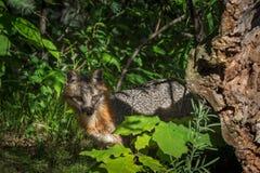 Γκρίζο cinereoargenteus Vixen Urocyon αλεπούδων πίσω από το κούτσουρο Στοκ φωτογραφία με δικαίωμα ελεύθερης χρήσης