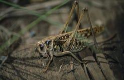 Γκρίζο grasshopper κάθεται σε ένα κούτσουρο στοκ φωτογραφία με δικαίωμα ελεύθερης χρήσης