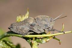 Γκρίζο grasshopper Στοκ φωτογραφίες με δικαίωμα ελεύθερης χρήσης