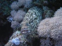 γκρίζο grouper Στοκ φωτογραφία με δικαίωμα ελεύθερης χρήσης