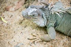 γκρίζο iguana Στοκ εικόνα με δικαίωμα ελεύθερης χρήσης